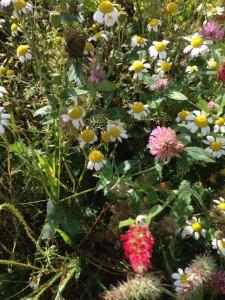 Pollinator field margin tells a positive farming story